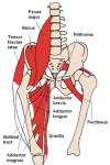 Hip_Muscles