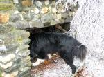 black dog sniffing