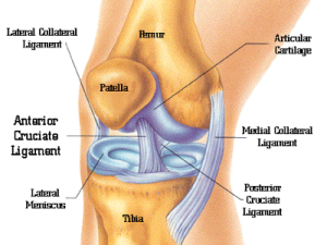 Knee-Anatomy