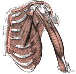intercostals greys anatomy