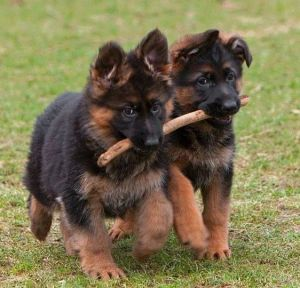 P13 puppies sharing stick
