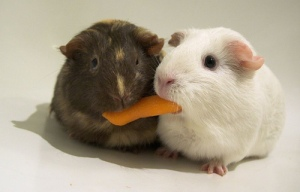 P13 sharing guinea pigs