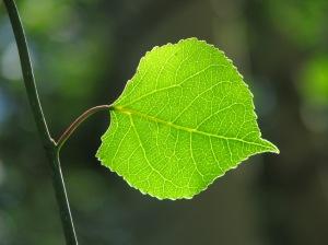 28 Day Challenge aspen leaf